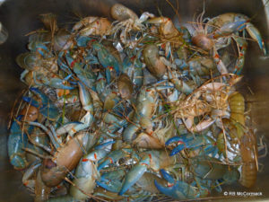 Yabbies captured by opera house traps
