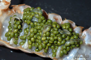 Freshly laid green yabby eggs